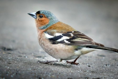 A chaffinch bird in the urban environment