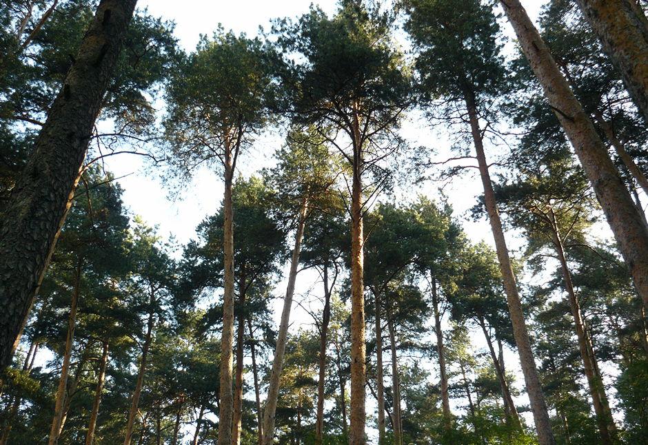 звездочка, лес