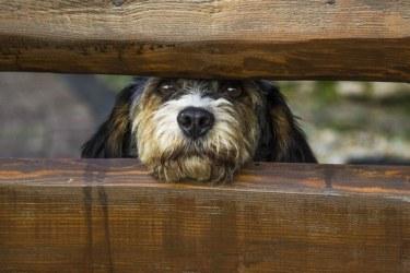 Binaural guard dog