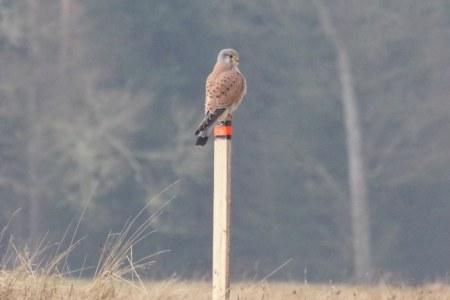 A peregrine falcon (?) from Pustoye Rozhdestvo